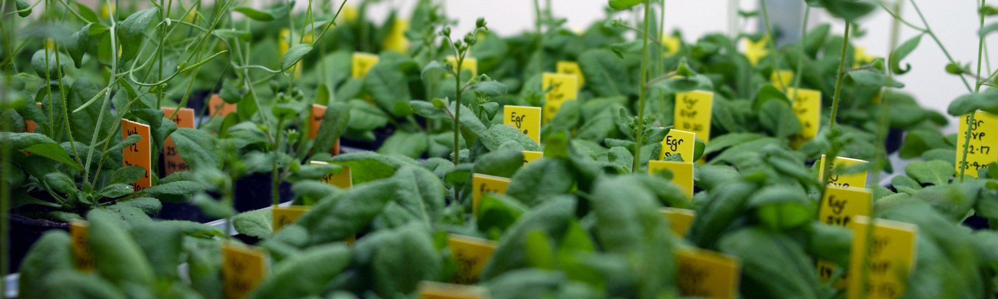 More food, cleaner food—gene technology and plants - Curious