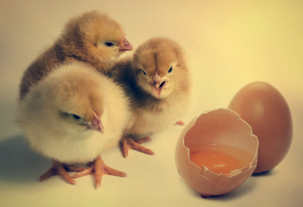 Which Came First The Chicken Or The Egg Curious