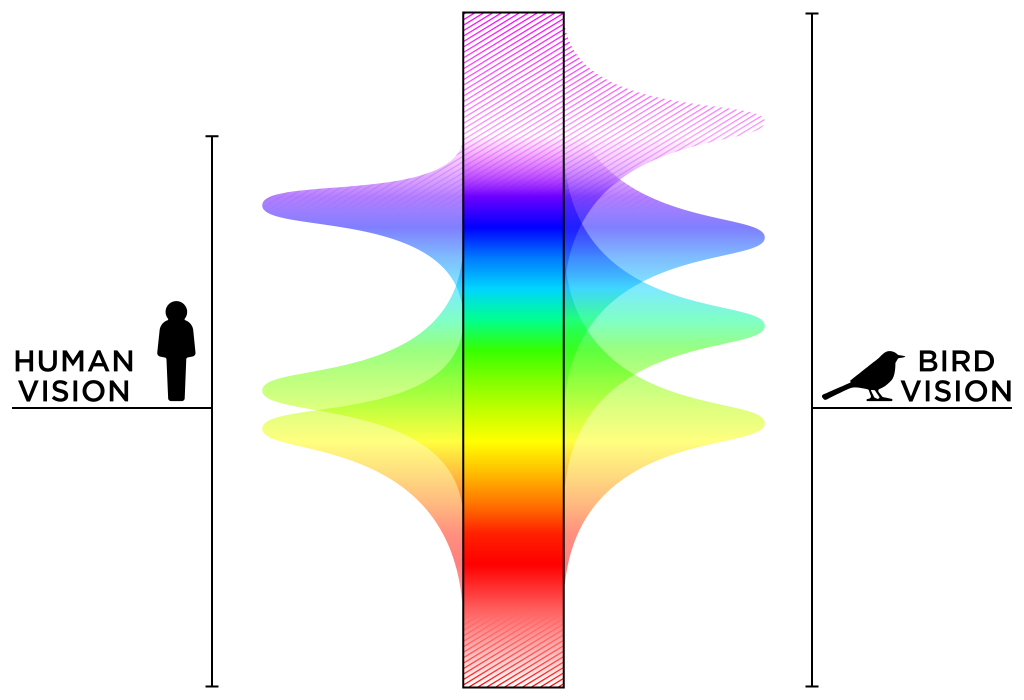 Diagram showing the range of colours visible to birds vs humans