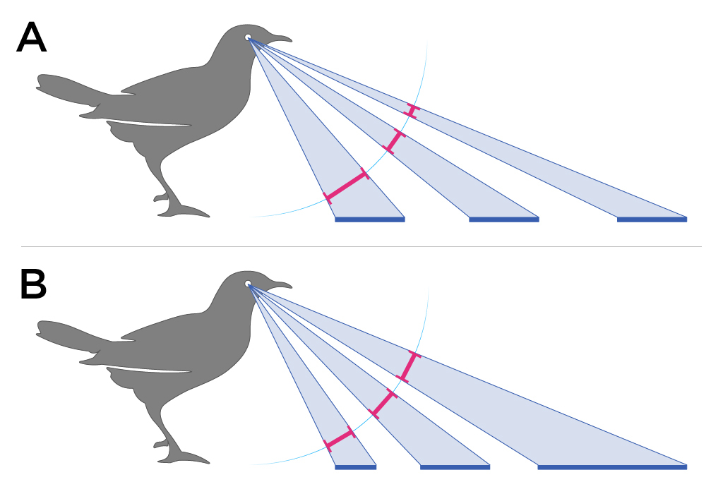 Diagram showing two different birds and visual angles as they look at objects placed in front of them.