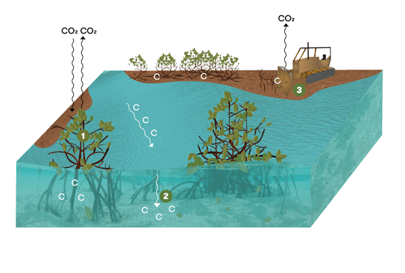 Carbon capture in mangrove ecosystems