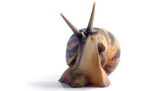 Giant African land snail.