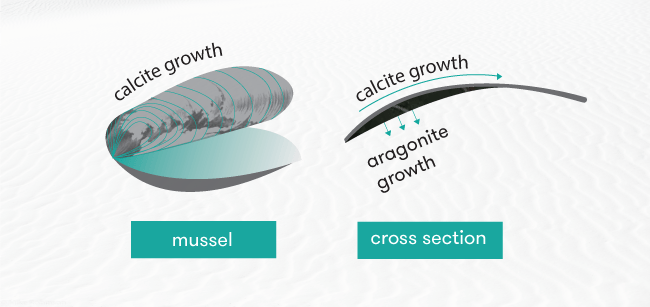 Diagram of mussel shell showing calcite and aragonite growth regions