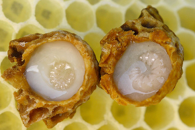 Developing queen larvae surrounded by royal jelly