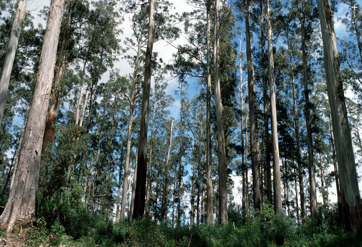 A Mountain Ash forest in Tasmania