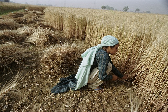 A woman harvesting crops in Bangladesh.