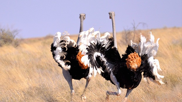 Two ostriches, using their wings for a courtship dance