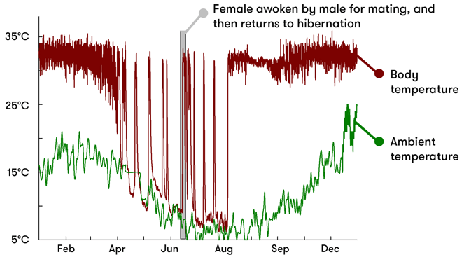 A graph showing the body and ambient temperatures of the female echidna across the year. During hibernation (around April to August), body temperature drops and rises dramatically. It is woken up around June-July to mate, and its body temperature returns to normal for a while, before returning to hibernation.