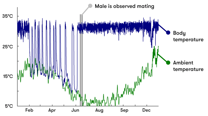 A graph showing the body and ambient temperatures of the male echidna across the year. During hibernation (around February to June), body temperature drops and rises dramatically. It wakes up around June-July to mate, and its body temperature returns to normal.