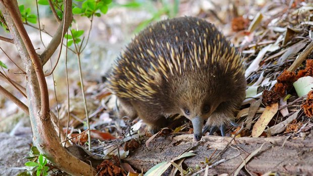 An echidna on leaf litter.