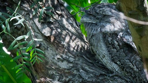 A tawny frogmouth asleep on a branch.