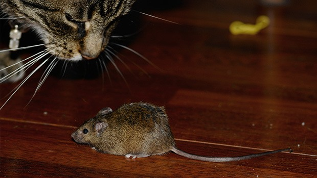A cat and mouse