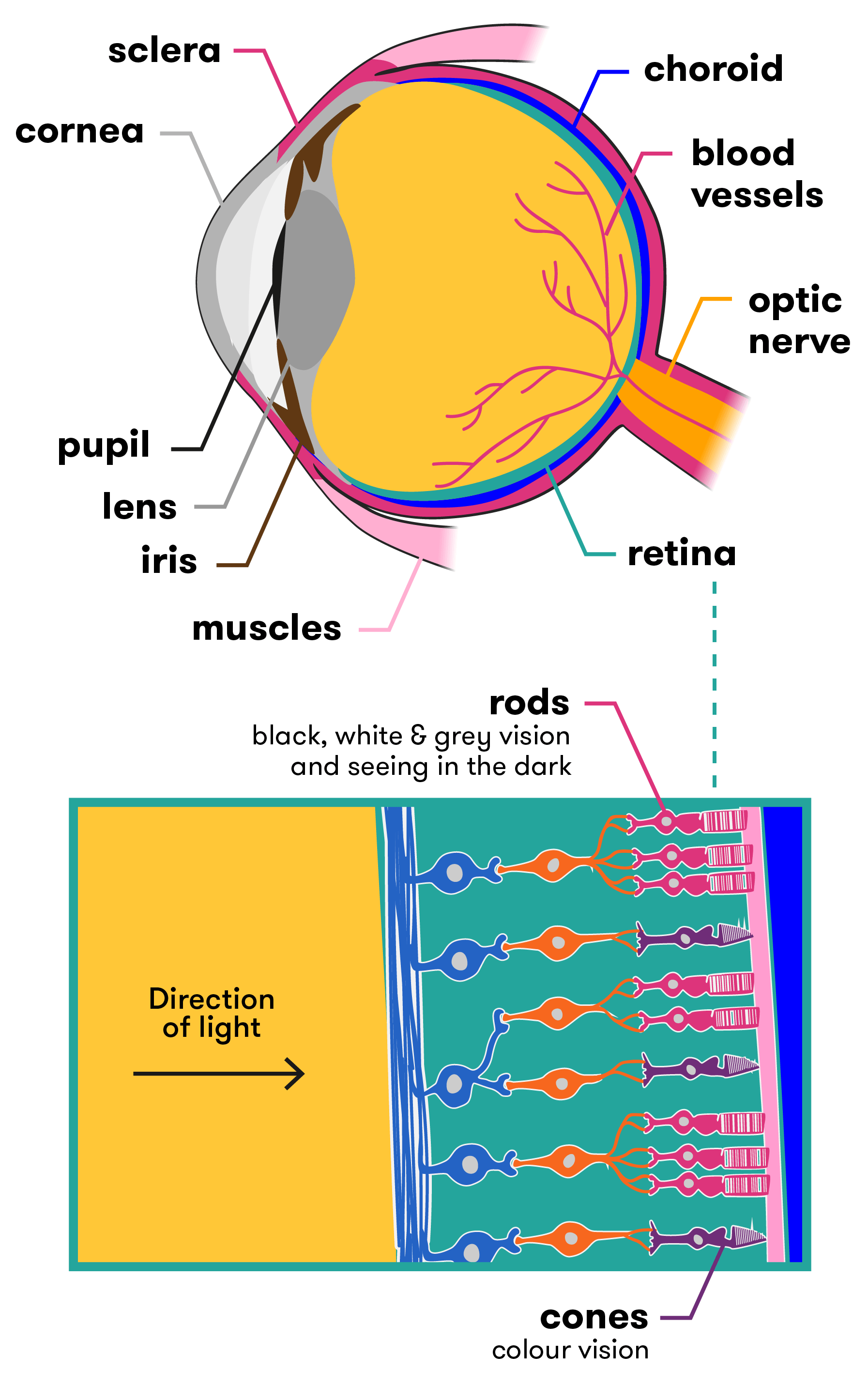 Seeing the future the bionic eye curious anatomy of the eye and retina as described above and below ccuart Images