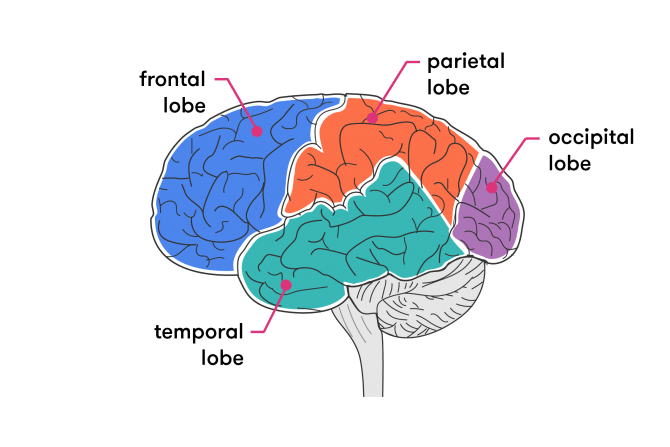 Getting Our Head Around The Brain Curious