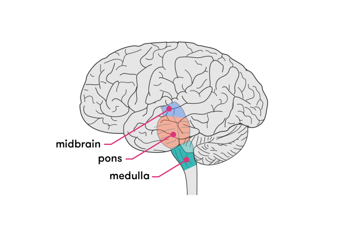 Structure of the brain stem