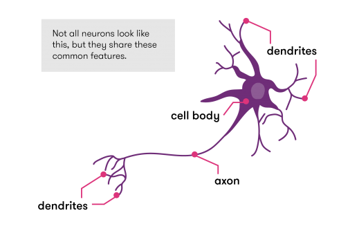 Standard features of neurons are the dendrites, cell bodies, and axons.