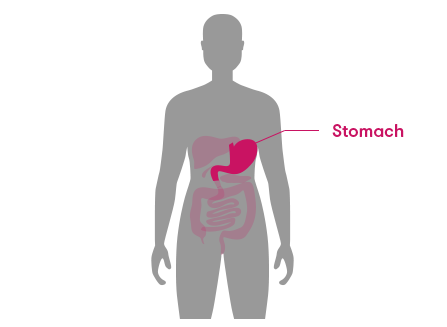 The stomach is located near the middle of the torso, on the left side.