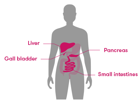 The liver is situated next to the stomach, but on the right side of the body. The pancreas is small and is under the stomach, the gall bladder is even smaller and is under the liver, and the small intestines wind their way around the bottom half of the torso.