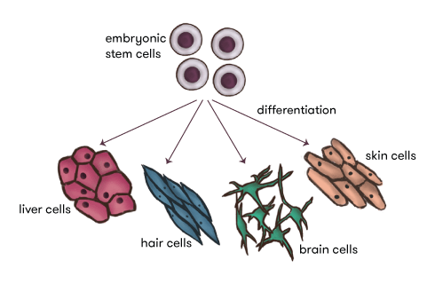 Diagram of stem cells and different cell types.