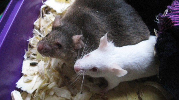 Obese and normal mice