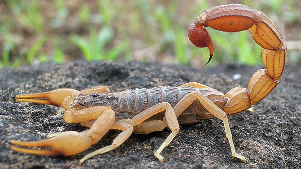 A scorpion with tail raised.