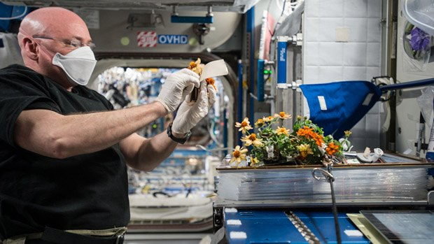 An astronaut inside the ISS removing flowers from Veggie.