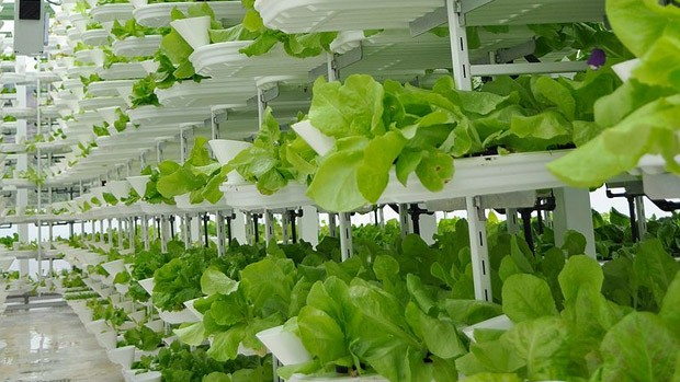 Lettuces growing in vertically stacked trays.