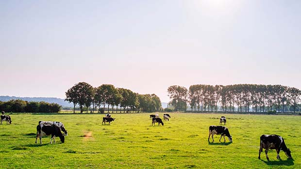 Cows grazing in a field.