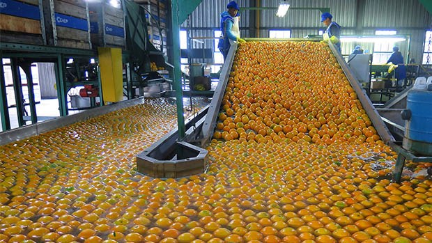 oranges being processed in a factory