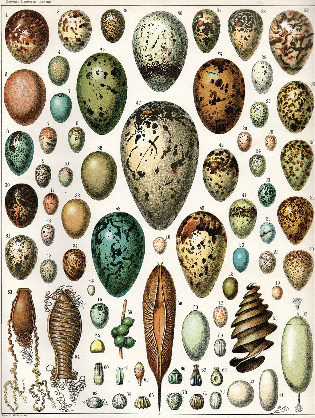 Scientific illustration of a range of different eggs