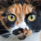 Close-up of the face of a ginger, black and white cat with big green eyes