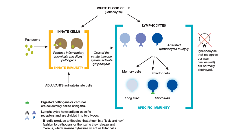 Figure 1.1 The human immune system