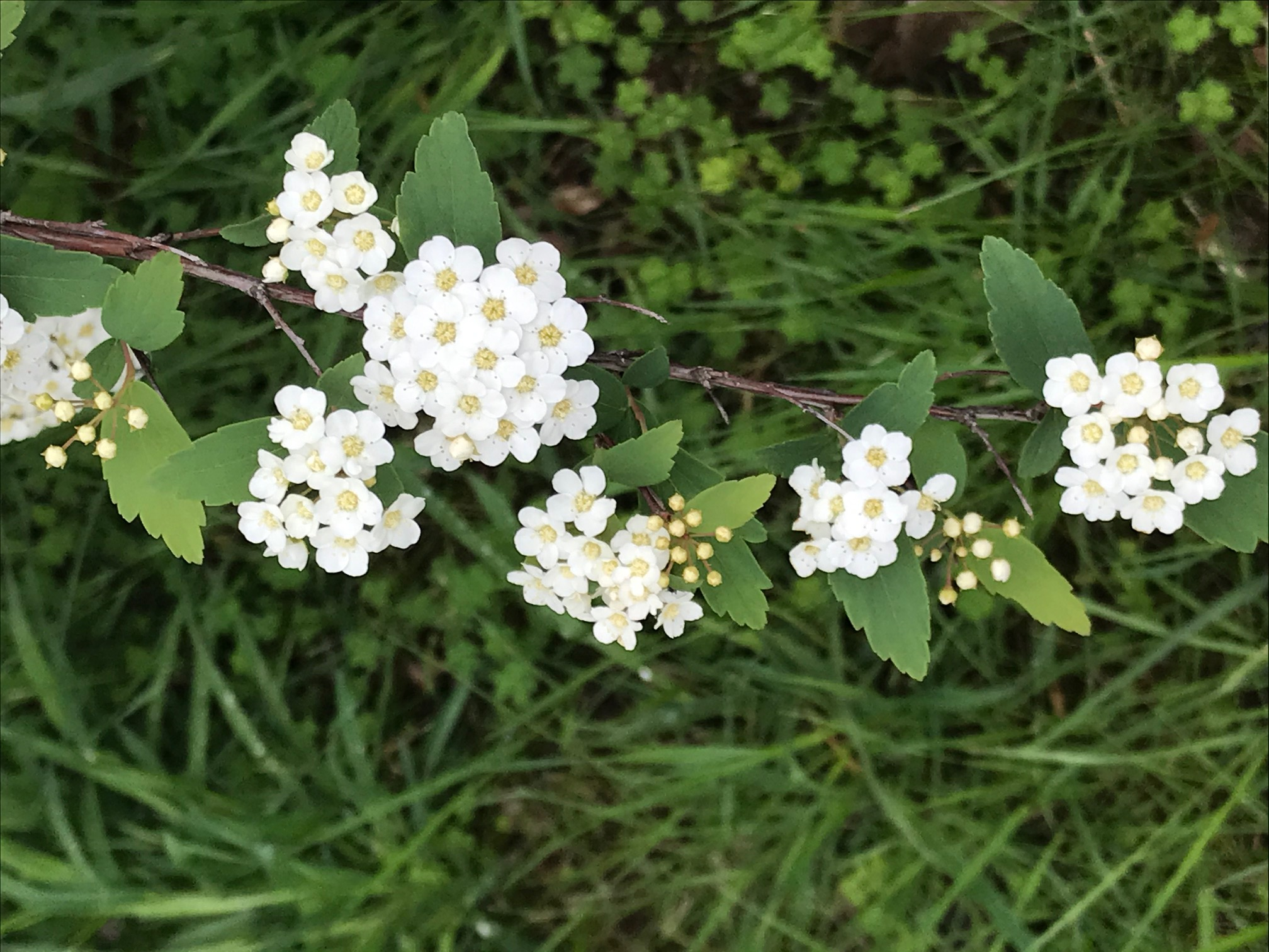 Name: Reyhane. Prize: Shortlist. In each group of flower buds there is 8 flower buds. This type of flower is called spring flower. Each of these flowers are 1.5cm long. All the leaves are symmetrical vertically. Each Flower has 5 petals. On each flower there is some dots.
